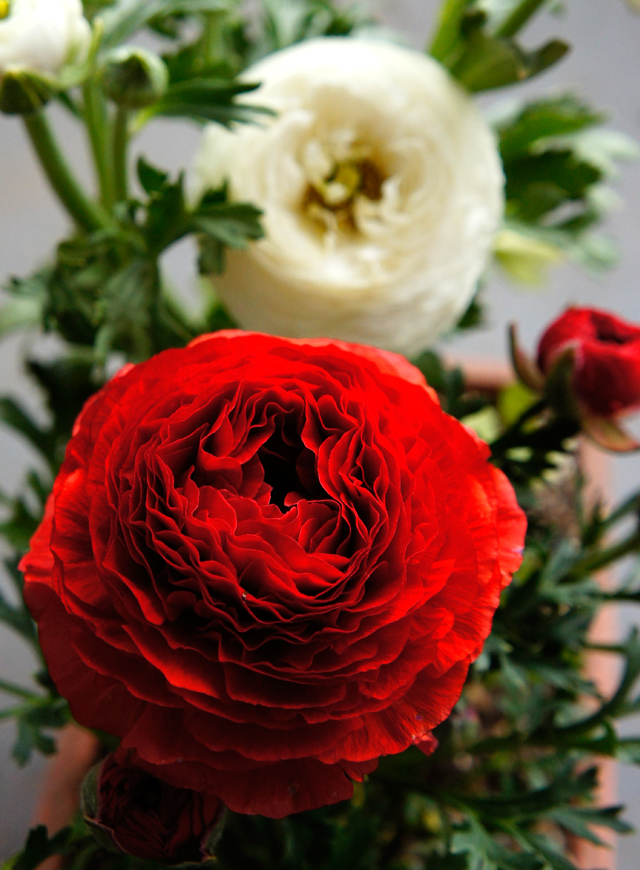 Red and white ranunculus