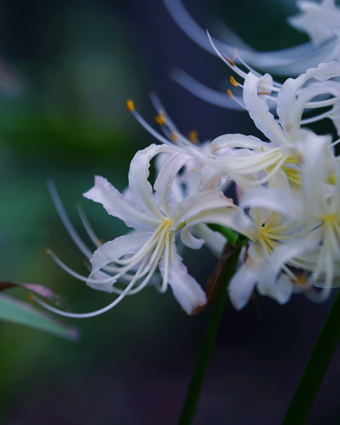 White Spider Lily/白花曼珠沙華